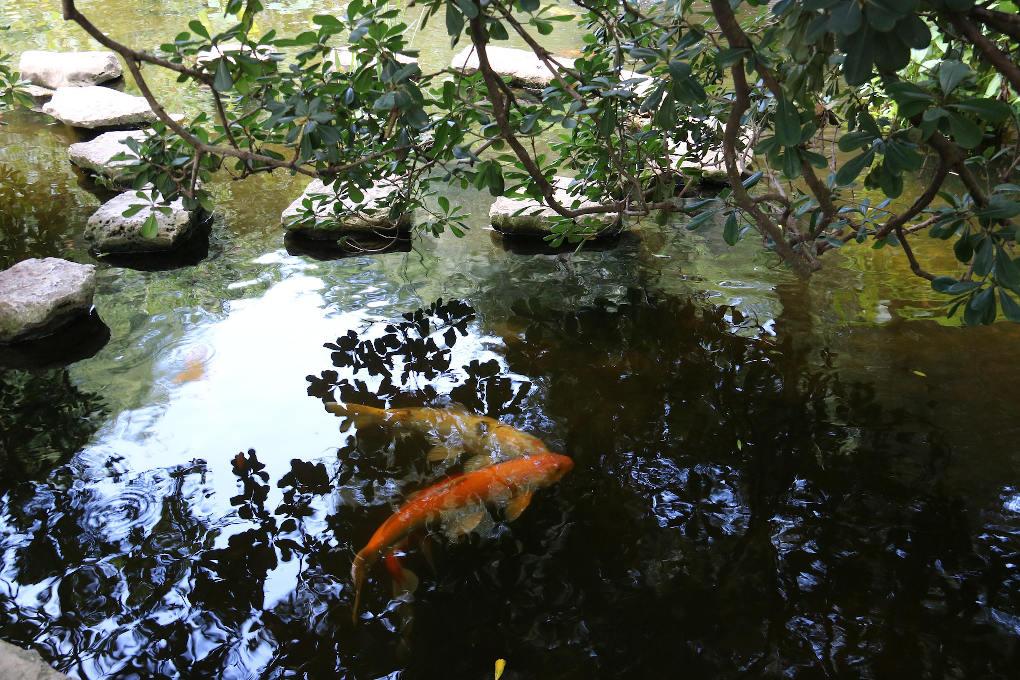Koi in pond photo by d Bossarte via Pixabay